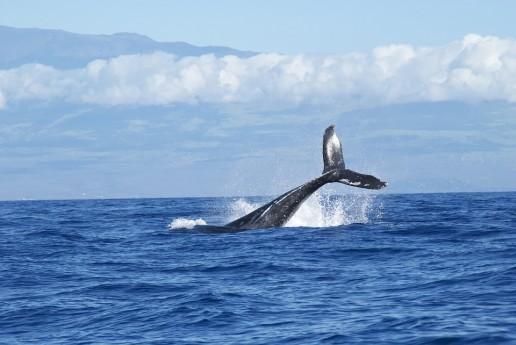 capturando ballenas el fraude del ceo